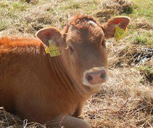 Tierfamilie-Kuh-1-350-300