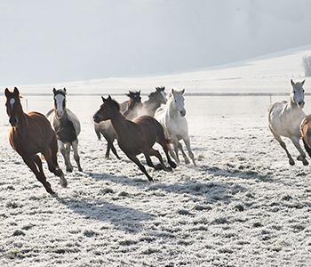 Tierfamilie-Pferde-2-350-300