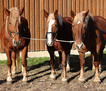 Tierfamilie-Pferde-4-350-300