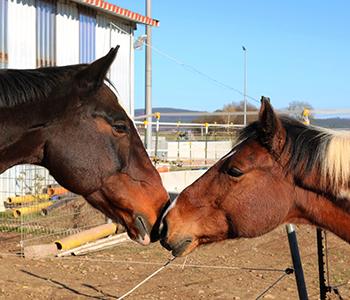 Tierfamilie-Pferde-5-350-300