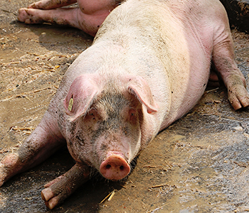 Tierfamilie-Schwein-1-350-300