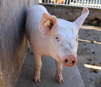 Tierfamilie-Schwein-2-350-300